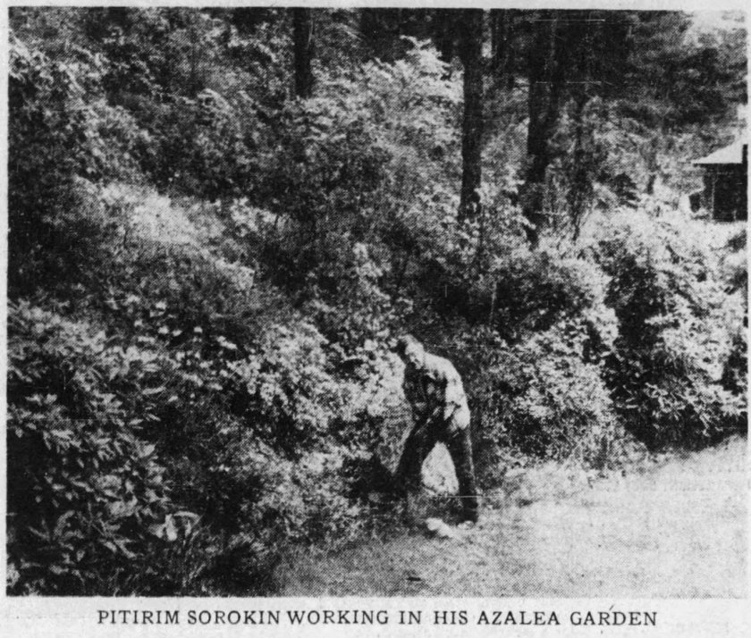 Sorokin working in his azalea garden - Boston Sunday Globe 5-23-1954